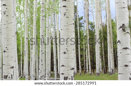 Aspen Trees near Colorado in autumn - stock photo