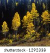Aspen trees photographed during the autumn season, along Highway 92 the Alpine Loop, in the Uinta National Forest in Utah. - stock photo