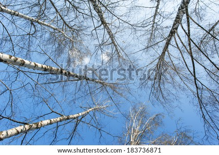 Aspen trees profiled on blue sky, in spring - stock photo