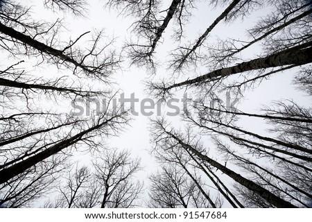 Aspen trees Saskatchewan in Winter - stock photo