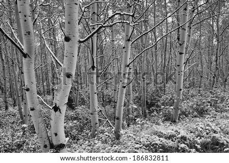 Aspen Trees, Snow, Glacier National Park - stock photo