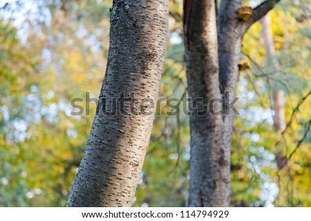aspen trunks in autumn forest close up - stock photo