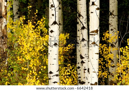 Aspens in the Fall Woods, Glacier National Park, Montana