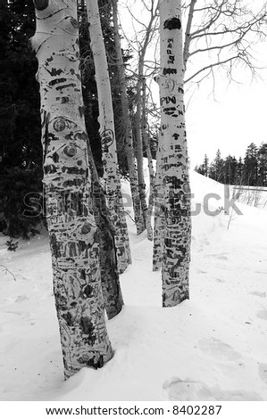 Aspens in the winter (black and white) - stock photo
