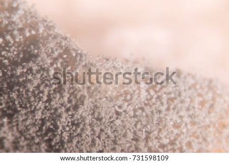 Asperillus niger in Bread under the microscopic, Microbiology for education in laboratories.