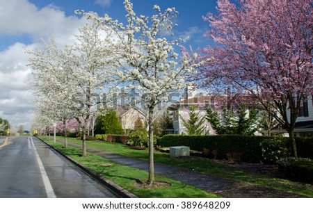 Asphalt road of a residential street in Redmond, Seattle suburbs, with blooming cherry trees - stock photo