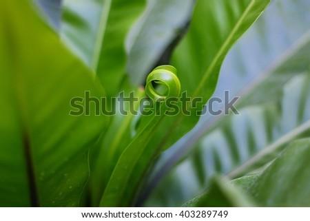 Asplenium nidus fern - stock photo