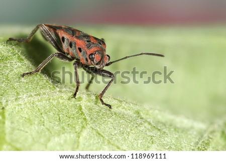 Assassin Bug - stock photo