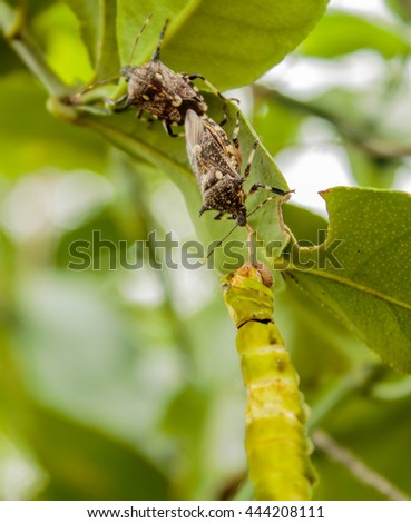 assassin bug is killing a butterfly - stock photo