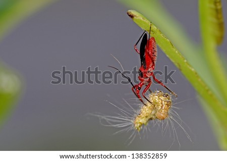 assassin bug is killing a butterfly caterpillar - stock photo