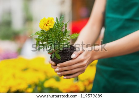 Assistant planting a flower in front of yellow plants in garden center - stock photo