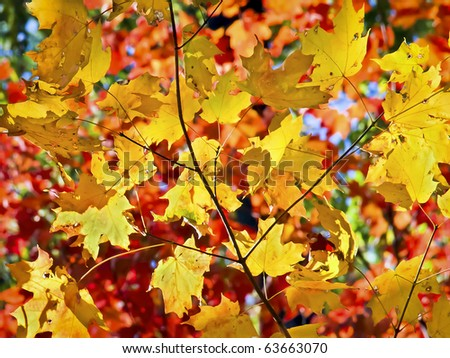 Assorted autumn maple leaves of intense color back lit by the sun