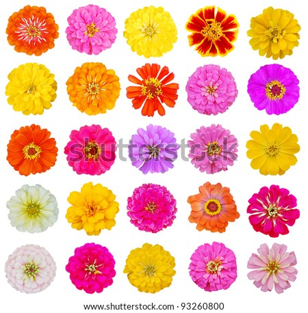 Assorted blooming zinnias: growing in the world - stock photo