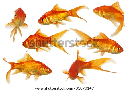 Assorted Gold Fish swimming isolated on a white background