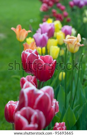 Assorted tulips in the spring garden - stock photo
