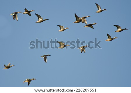 Assortment of Ducks Flying in a Blue Sky - stock photo