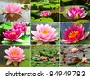 Assortment of  nymphaea Water lilly in a pond - stock photo