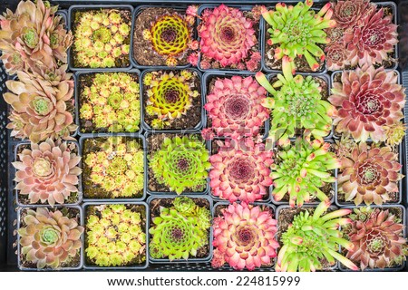 Assortment of tiny rock plants in a plant nursery - stock photo