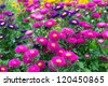 Aster Autumn Flowers - stock photo
