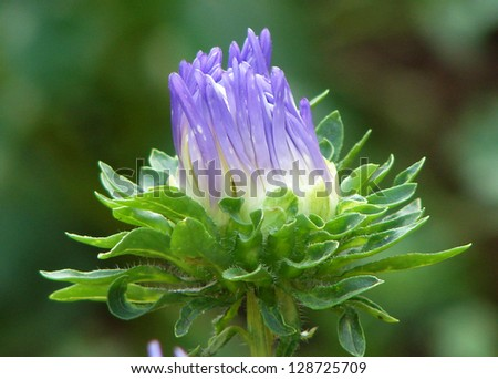 aster bud blossomed with lilac petals