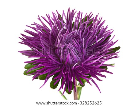 Aster flower head closeup isolated on white background - stock photo