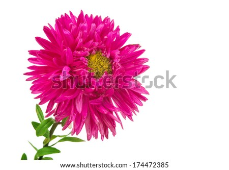 aster flower isolated on white background - stock photo