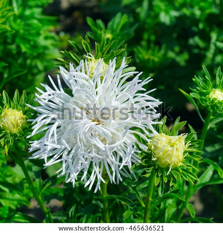 aster flowerbed in summer, focus on a white flower