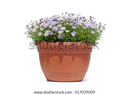 Aster flowers in a flowerpot isolated on white background - stock photo