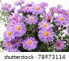 Aster flowers isolated - stock photo