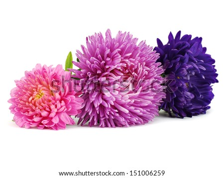 Aster flowers on a white background        - stock photo
