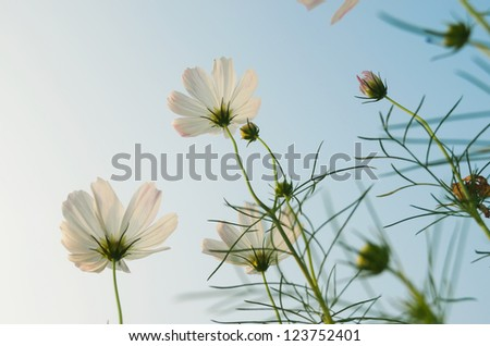 Aster in the blue sky - stock photo
