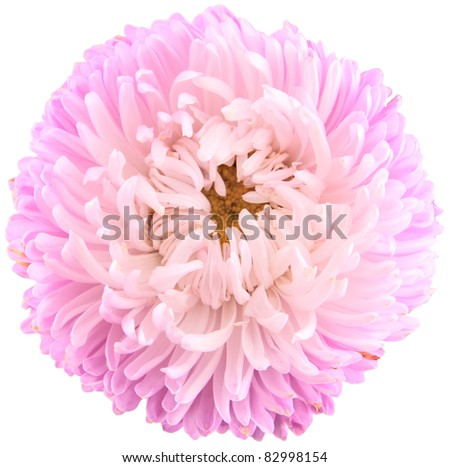 aster isolated on white - stock photo