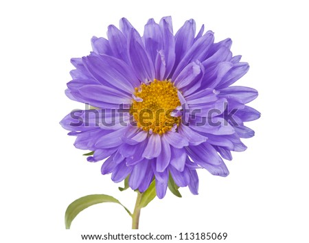 aster isolated on white background - stock photo