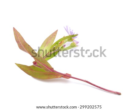aster on a white background - stock photo