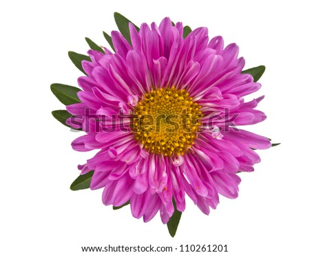 aster pink on white background. - stock photo