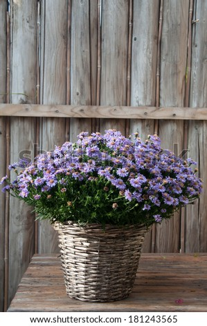 aster purple flowers in a rustic basket with a wooden backdrop - stock photo