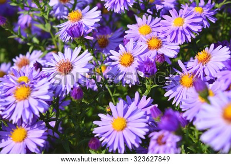 aster / Violet Asters blooming in the garden - stock photo