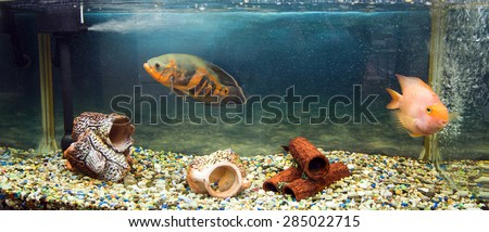 Astoronotusy Fish (Astronotus ocellatus) close-up - stock photo