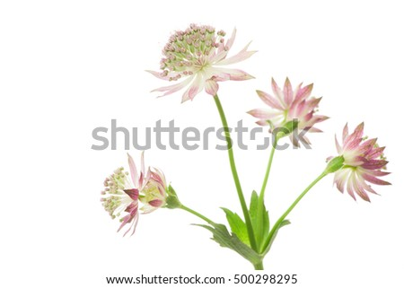 Astrantia flowers isolated on white background