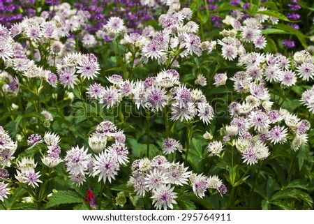 Astrantia major in a herbaceous border. - stock photo
