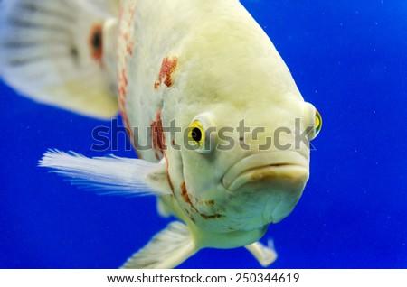 Astronotus Ocellatus. Exotic fish in aquarium. - stock photo