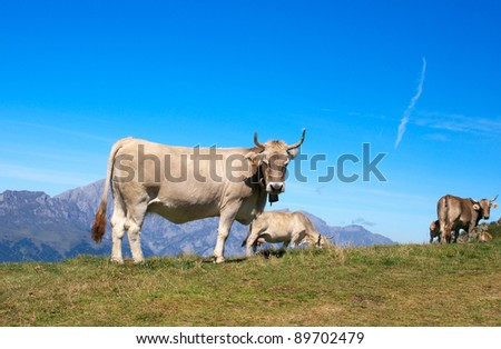 Asturias cows herd in the Cantabrian mountains - stock photo