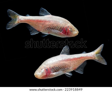 Astyanax fasciatus mexicanus - Anoptichthys jordani - blind cave mexican tetra - stock photo