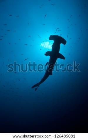 At certain times of the year Scalloped Hammerhead sharks (Sphyrna lewini) gather in large numbers at Cocos Island off Costa Rica.  This island is known for its sharks and great fish populations. - stock photo