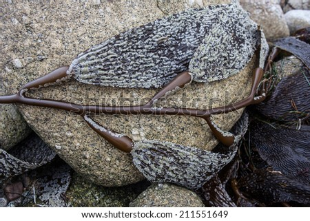At low tide, giant kelp is left high and dry on the rocky coast of the Monterey Bay Marine Sanctuary. Giant kelp is prevalent in this area and provides habitat for many marine species. - stock photo
