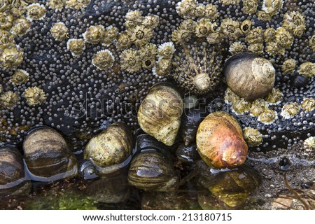 At low tide you can explore rocks and cliffs with countless snails and mussels - stock photo