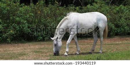 At Rincon de la Vieja National Park, Costa Rica, a white horse grazes in a field. - stock photo
