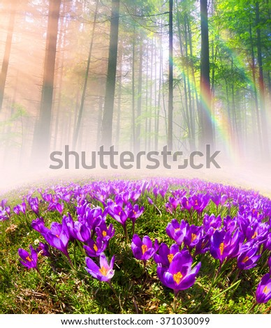 At sunrise, after a warm rain forest shrouded in mist Ukrainian spring with sunshine rays. Sea fog in the pink light is very beautiful and fairy primroses after the snow melts very beautiful - stock photo