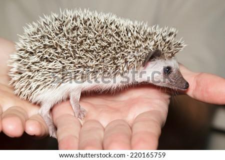 Atelerix albiventris, African pygmy hedgehog in hand. - stock photo