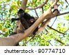 ateles geoffroyi vellerosus spider monkey central america mother and baby - stock photo